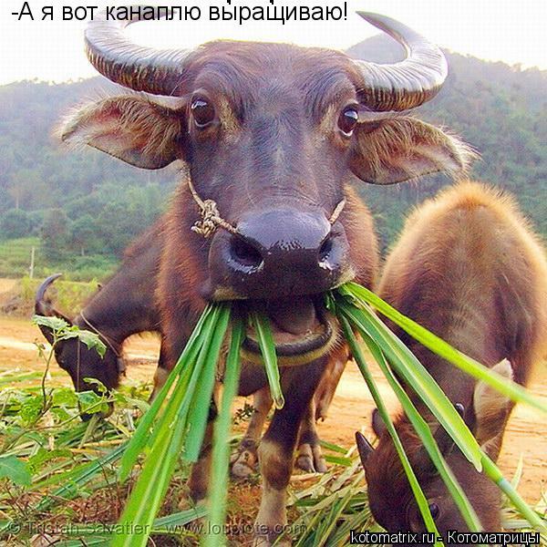 Котоматрица: -А я вот канаплю выращиваю! -А я вот канаплю выращиваю! -А я вот канаплю выращиваю!