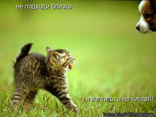 Котоматрица: не подходи близко не подходи близко - я же тигр, а не киска!!! - я же тигр, а не киска!!!