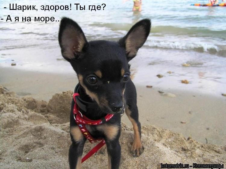 Котоматрица: - Шарик, здоров! Ты где? - А я на море....