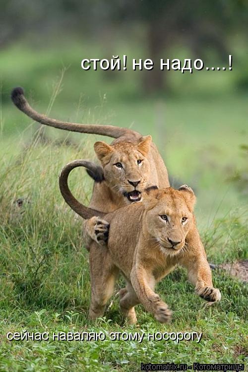 Котоматрица: стой! не надо....! сейчас наваляю этому носорогу