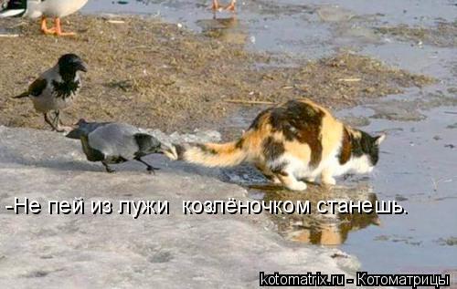 Котоматрица: -Не пей из лужи  козлёночком станешь.