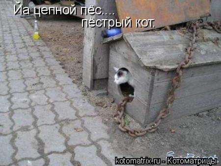 Котоматрица: Йа цепной пёс.... пёстрый кот.