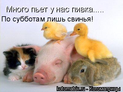 Котоматрица: Много пьет у нас пивка..... По субботам лишь свинья!