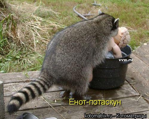 Котоматрица: Енот-потаскун
