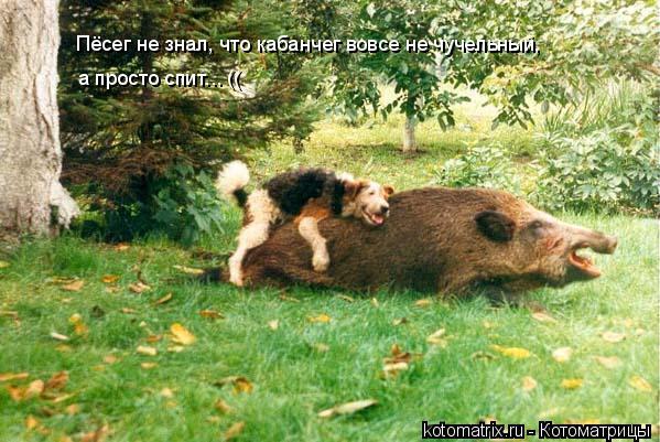 Котоматрица: Пёсег не знал, что кабанчег вовсе не чучельный,  а просто спит... ((