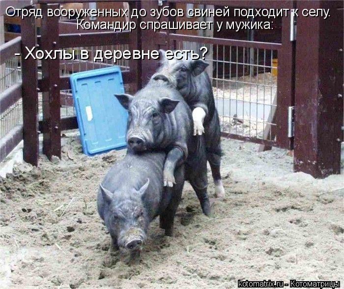Котоматрица: Отряд вооруженных до зубов свиней подходит к селу.  Командир спрашивает у мужика: - Хохлы в деревне есть?