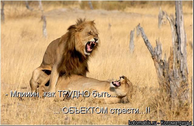 Котоматрица: - Млииин, как ТРУДНО быть... ... ОБЪЕКТОМ страсти...!!