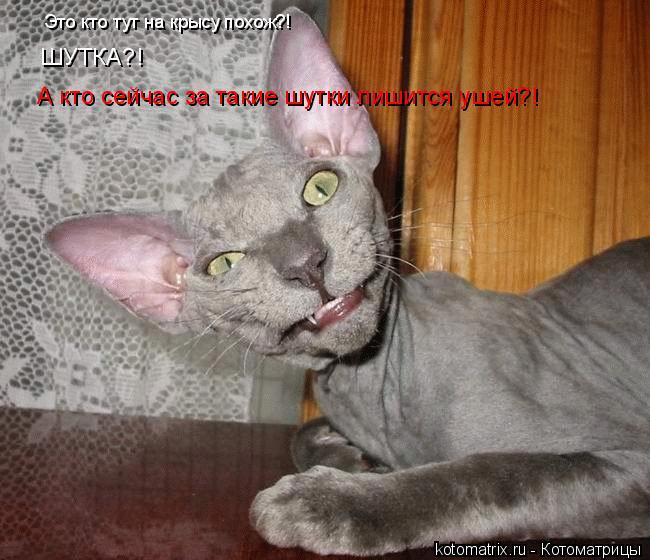 Котоматрица: ШУТКА?! А кто сейчас за такие шутки лишится ушей?! Это кто тут на крысу похож?!