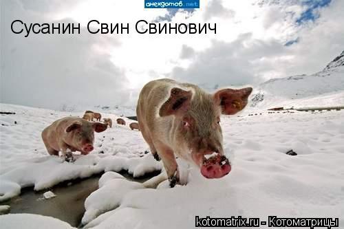 Котоматрица: Сусанин Свин Свинович