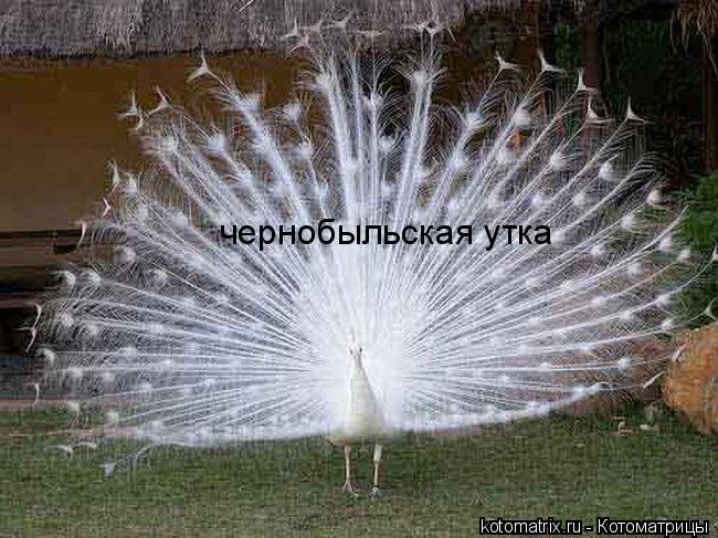 Котоматрица: чернобыльская утка