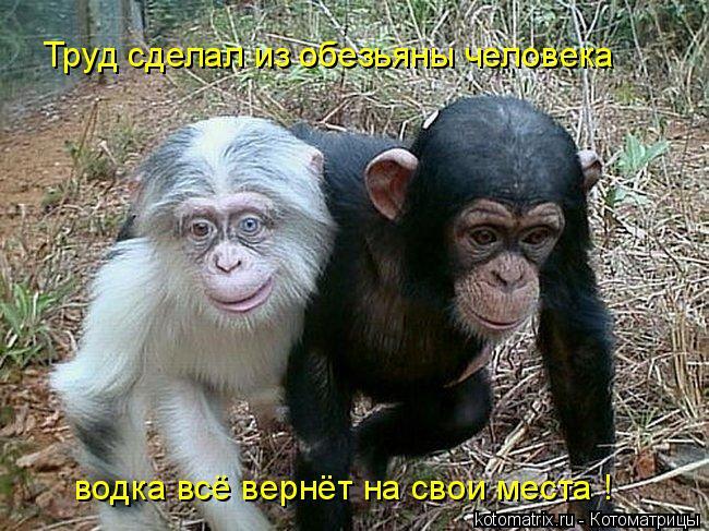 Котоматрица: Труд сделал из обезьяны человека водка всё вернёт на свои места !