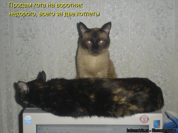 Котоматрица: Продам кота на воротник недорого, всего за две котлеты