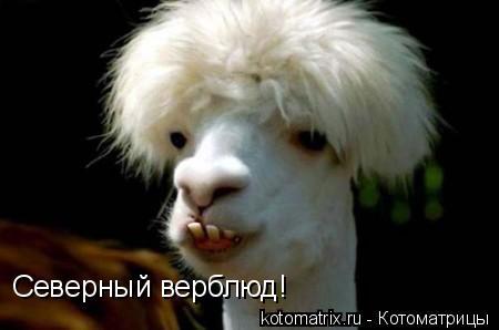 Котоматрица: Северный верблюд!