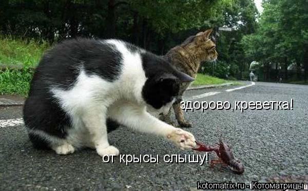 Котоматрица: здорово,креветка! от крысы слышу!