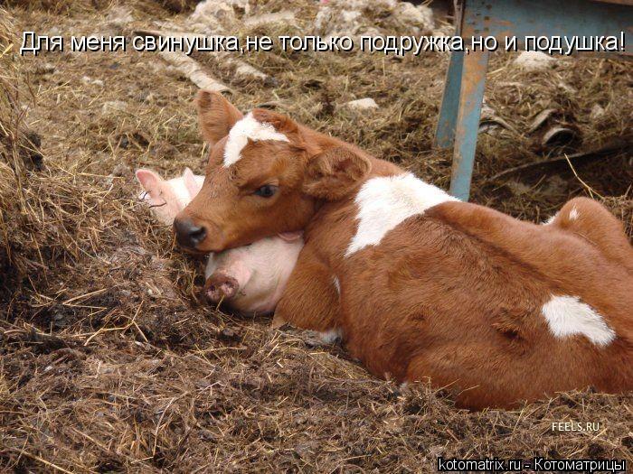 Котоматрица: Для меня свинушка,не только подружка,но и подушка!