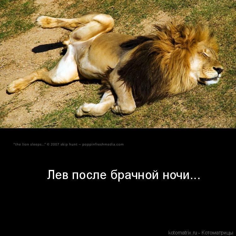Котоматрица: Лев после брачной ночи...