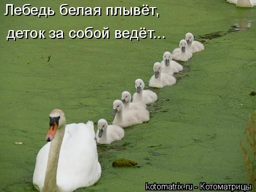 Котоматрица: Лебедь белая плывёт, деток за собой ведёт...