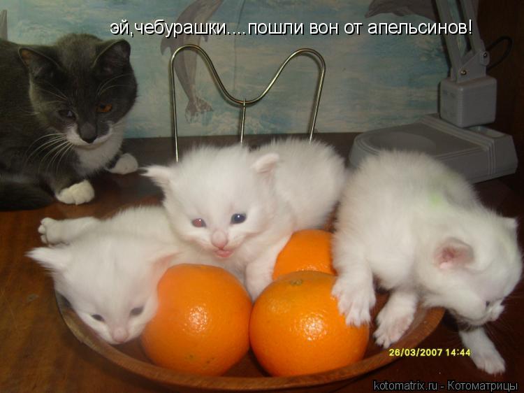 Котоматрица: эй,чебурашки....пошли вон от апельсинов!