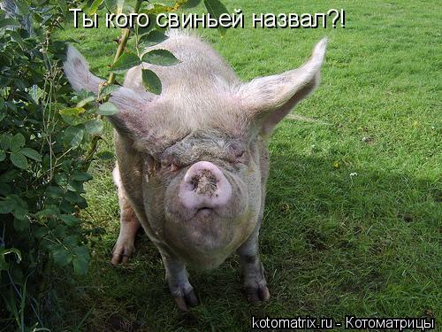 Котоматрица: Ты кого свиньей назвал?!