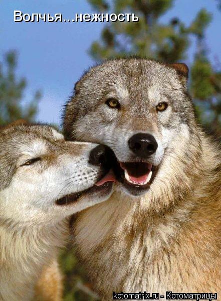 Котоматрица: Волчья...нежность