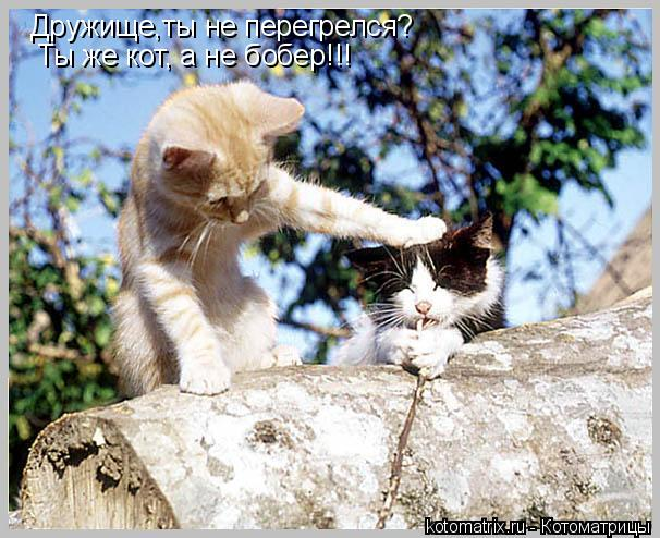 Котоматрица: Дружище,ты не перегрелся? Ты же кот, а не бобер!!!