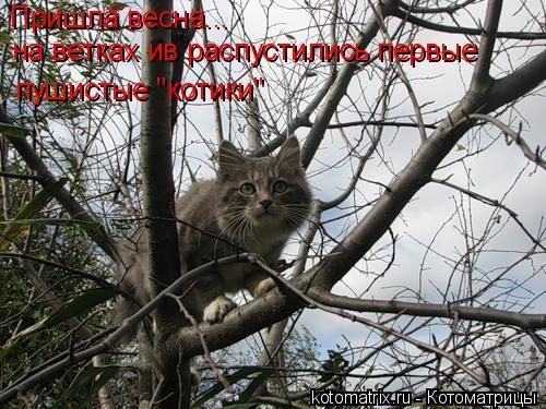 """Котоматрица: Пришла весна... на ветках ив распустились первые пушистые """"котики"""""""