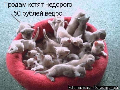 Котоматрица: Продам котят недорого 50 рублей ведро