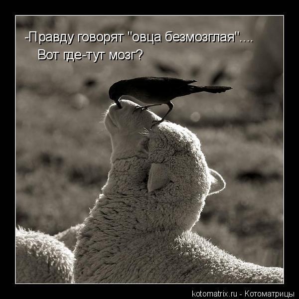 "Котоматрица: -Правду говорят ""овца безмозглая"".... Вот где-тут мозг?"