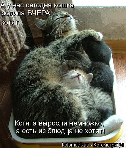 Котоматрица: А у нас сегодня кошка родила ВЧЕРА котят. Котята выросли немножко, а есть из блюдца не хотят!
