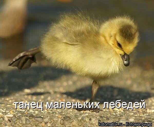 Котоматрица: танец маленьких лебедей