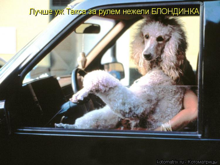 Котоматрица: Лучше уж Такса за рулем нежели БЛОНДИНКА