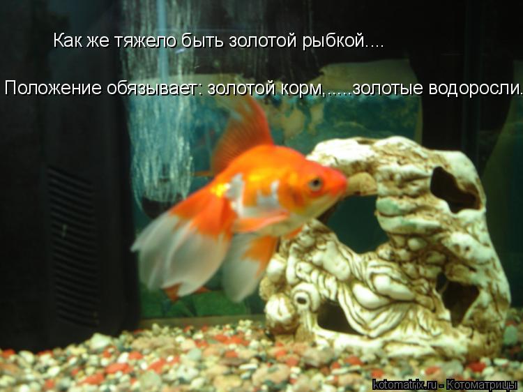 Котоматрица: Как же тяжело быть золотой рыбкой.... Положение обязывает: золотой корм,.....золотые водоросли....:(