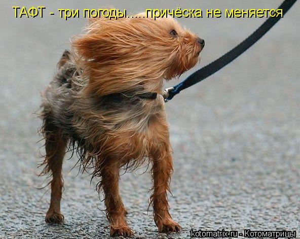 Котоматрица: ТАФТ - три погоды.....причёска не меняется