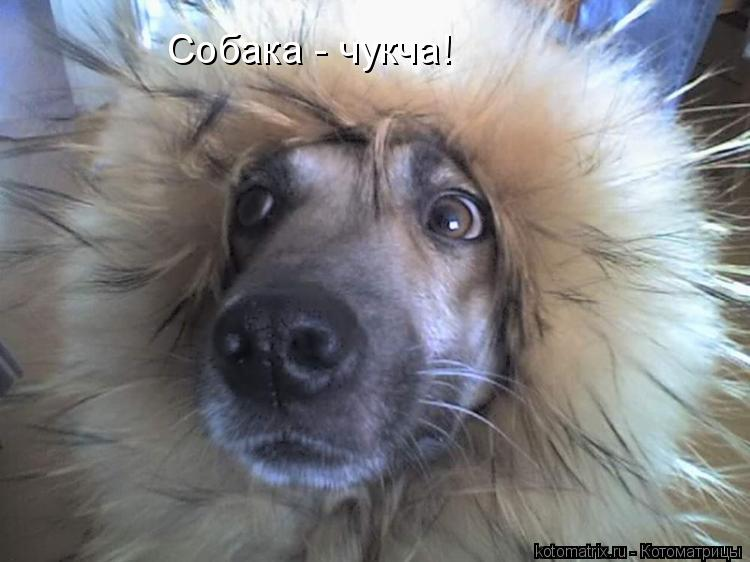 Котоматрица: Собака - чукча!