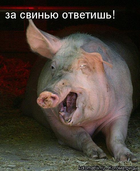 Котоматрица: за свинью ответишь!