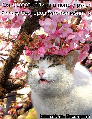 Котоматрица: Ой, цветёт калина в поле у ручья. Ваську беспородного полюбила я...