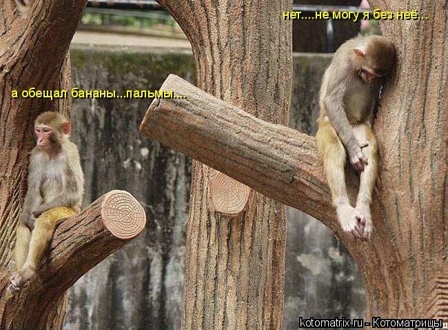 Котоматрица: нет....не могу я без неё... а обещал бананы...пальмы....