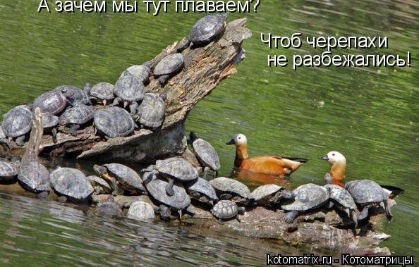 Котоматрица: А зачем мы тут плаваем? Чтоб черепахи не разбежались!