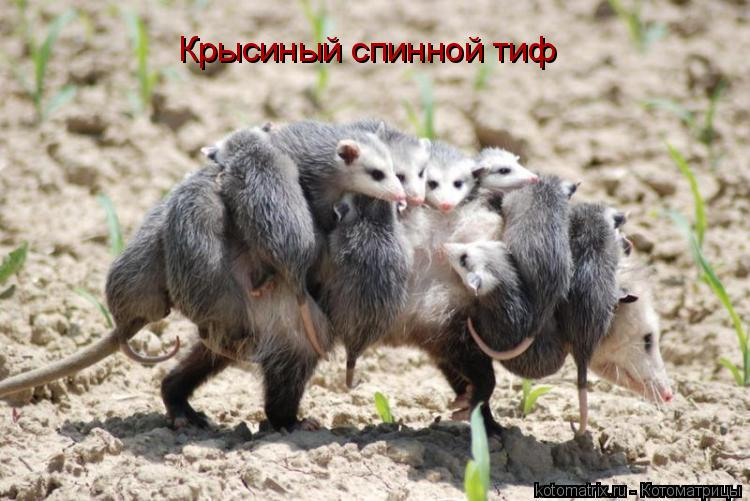 Котоматрица: Крысиный спинной тиф