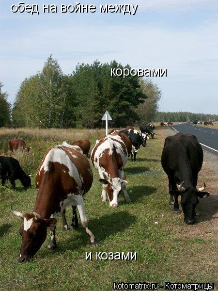Котоматрица: обед на войне между коровами и козами