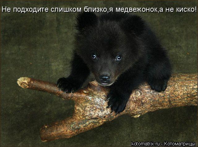 Котоматрица: Не подходите слишком близко,я медвежонок,а не киско!