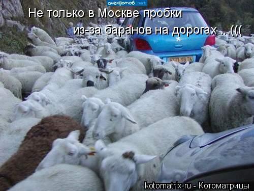 Котоматрица: из-за баранов на дорогах ...((( Не только в Москве пробки