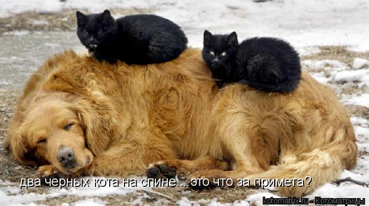 Котоматрица: два черных кота на спине....это что за примета?