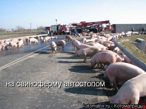 Котоматрица: на свиноферму автостопом