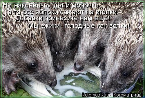 Котоматрица: Ну, наконец-то, дали молочко, а то всё яблоки сажают на иголки... Добавки принесите нам ещё! Мы ёжики- голодные как волки!