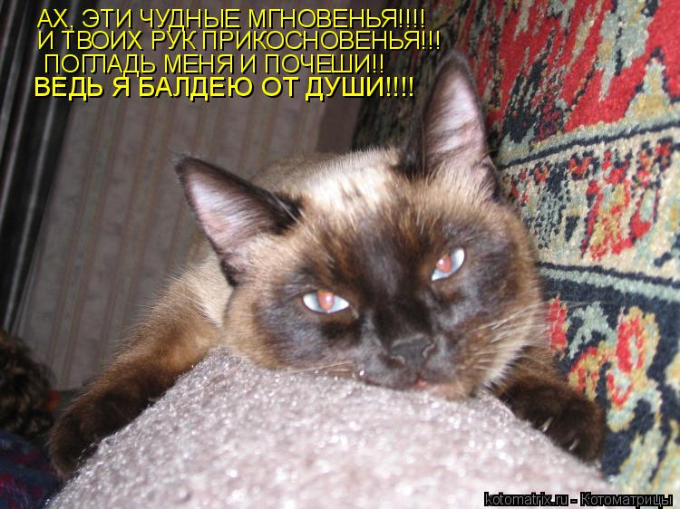 Котоматрица: АХ, ЭТИ ЧУДНЫЕ МГНОВЕНЬЯ!!!! И ТВОИХ РУК ПРИКОСНОВЕНЬЯ!!! ПОГЛАДЬ МЕНЯ И ПОЧЕШИ!! ВЕДЬ Я БАЛДЕЮ ОТ ДУШИ!!!!