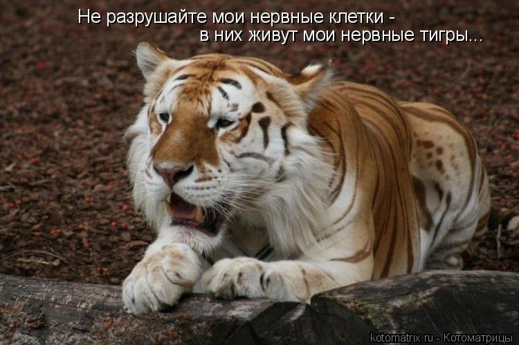 Котоматрица: Не разрушайте мои нервные клетки -  в них живут мои нервные тигры...