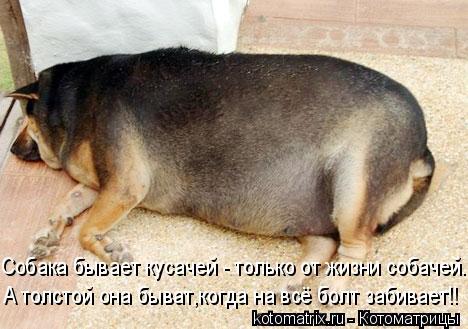 Котоматрица: Собака бывает кусачей - только от жизни собачей. А толстой она быват,когда на всё болт забивает!!