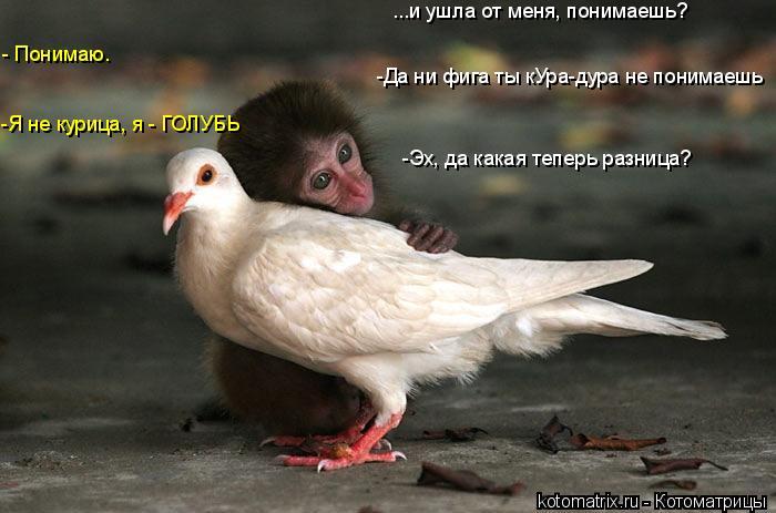 Котоматрица: -Да ни фига ты кУра-дура не понимаешь -Эх, да какая теперь разница? -Я не курица, я - ГОЛУБЬ - Понимаю. ...и ушла от меня, понимаешь?
