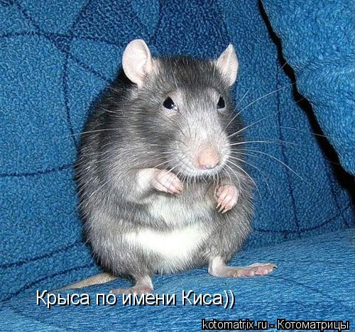 Котоматрица: Крыса по имени Киса))